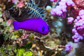 Magenta dottyback of coral reef,Indonesia