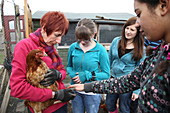 Looking at rescued battery chickens on an allotment