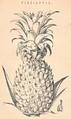 Pine-Apple, c19th century