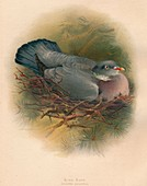 Ring Dove (Columba palumbus), 1900, (1900)