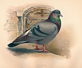 Rock Dove (Columba livia), c1900, (1900)