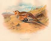 Pallass Sand-Grouse (Syrrhaptes paradoxus), 1900, (1900)