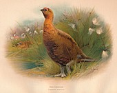 Red Grouse (Lagopus scoticus), 1900, (1900)