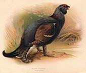 Black Grouse (Tetrau tetrix), 1900, (1900)