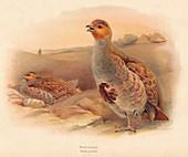 Partridge (Perdix cinerea), 1900, (1900)