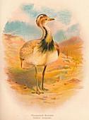 'Macqueen's Bustard (Houbara macqueeni)', 1900, (1900)