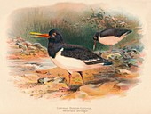 Common Oyster-Catcher , 1900