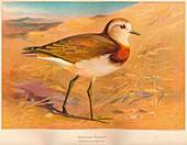 Caspian Plover (Ochthodromus asiaticus), 1900, (1900)