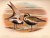 Grey Plover, Golden Plover, 1900