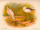 Common Avocet, Common Stilt, 1900