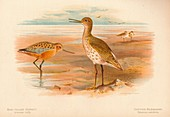 Bar-Tailed Godwit, Common Redshank, 1900