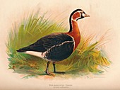 Red-Breasted Goose (Branta ruficollis), 1900, (1900)