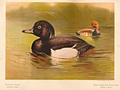 Tufted Duck, Red-Crested Pochard, 1900