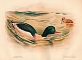 Goosander, Harlequin Duck, 1900