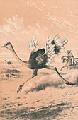 Chasing the Ostrich, c1880