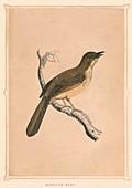Mocking Bird, (Mimus polyglottos), c1850, (1856)