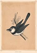 Puff Bird, (Bucconidae), c1850, (1856)
