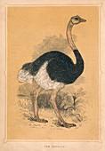 The Ostrich, (Struthio camelus), c1850, (1856)