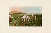 Cosecha de tabaco -Tobacco Plantation, c1910