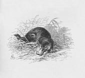 Ornithorhynchus Paradoxus, c1885, (1890)