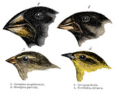 Four finch observed by Darwin on the Galapagos Islands