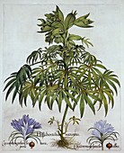 Stinking Hellebore, and Two Kinds of Crocus