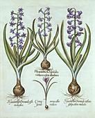 Hyacinths and an Autumn Crocus, from 'Hortus Eystettensis'