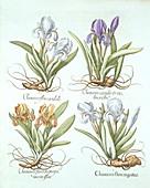 Four varieties of rhizomatous irises