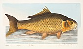 The Carp, from A Treatise on Fish and Fish-ponds, 1832