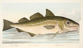 Cod Fish, from A Treatise on Fish and Fish-ponds, 1832