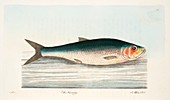 Herring, from A Treatise on Fish and Fish-ponds, 1832