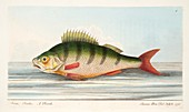 The Perch, from A Treatise on Fish and Fish-ponds, 1832