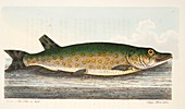 The Pike, from A Treatise on Fish and Fish-ponds, 1832