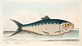 The Shad, from A Treatise on Fish and Fish-ponds, 1832