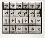 Ostrich Running, Plate 772 from Animal Locomotion, 1887