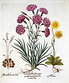 Carnation, Dianthus, Arnica and Round Leaved Sundew