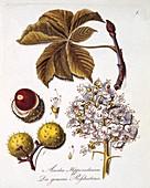 Aesculus Hippocastanum, 1803-1805