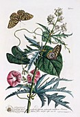 Butterflies and flowers, c1748 hand coloured engraving