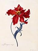 Perroquet Rouge, c1744