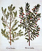 Myrtle Varieties, from 'Hortus Eystettensis'