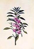 Garden Balsam (Impatiens Balsamina), c1746