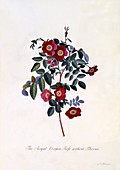 The Royal Virgin Rose without Thorns, c1745