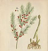 Asparagus, 1947