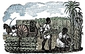 Slaves harvesting sugar cane in Louisiana, 1833