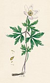 Anemone nemorosa Wood anemone, 19th Century