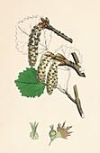 Populus tremula Aspen, 19th Century