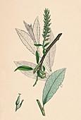 Tea-leaved Sallow (Salix phylicifolia, var radicans)