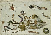 Various Spiders and Caterpillars, early 1650s