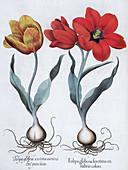 Tulips, 1613