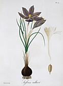 Saffron Crocus, 1821